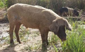 Schweine sind in großen Mengen erzeugtes Fleisch.